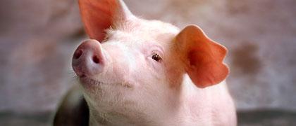 home species image link swine - Kent