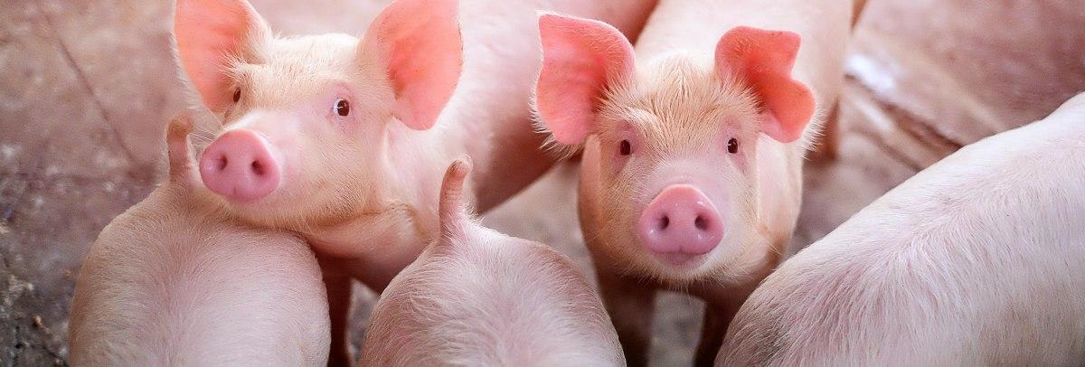 species-page-swine_header